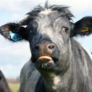 plastic-cattle-dna_1