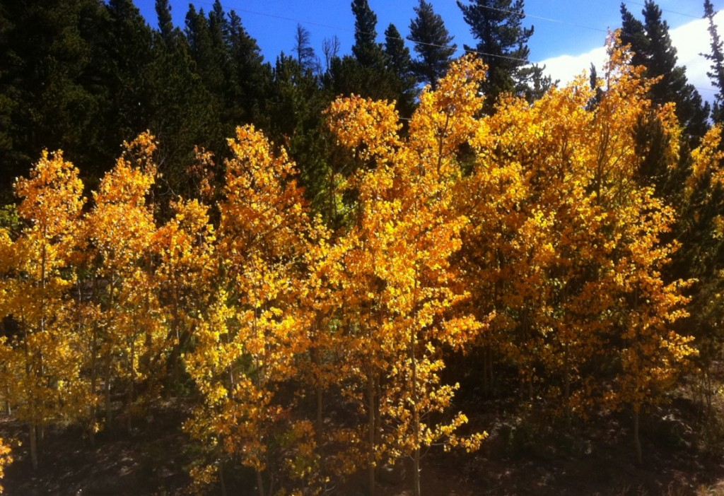 fall in colorado - aspen trees